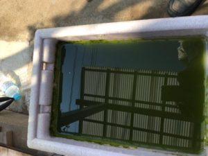 納豆菌投入後24時間のメダカの飼育水槽