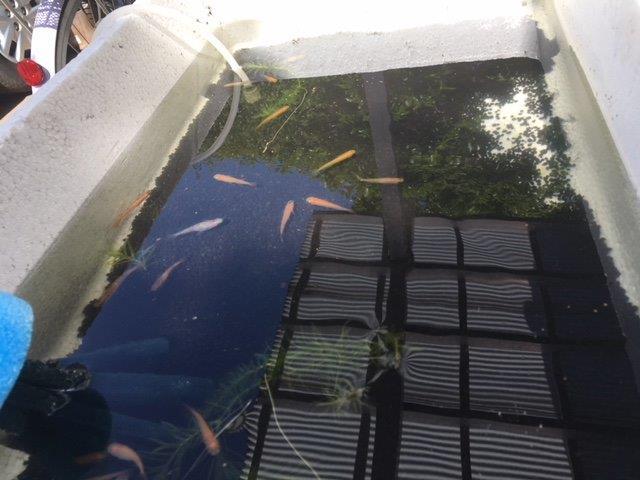 池から回収直後のメダカ